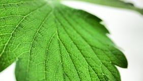 La fraise verte laisse le plan rapproch? sur un fond blanc Macro veines photographie stock libre de droits