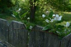 La framboise fleurit au sommet de l'arbre mol de foyer de barrière dans la distance Photo stock