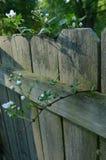 La framboise fleurit s'élevant sur le dessus et par la barrière Images stock