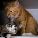 La fratellanza di due gatti Fotografie Stock