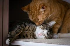 La fratellanza di due gatti Fotografia Stock Libera da Diritti