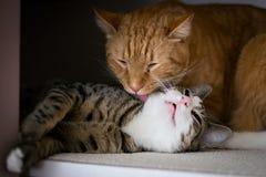 La fraternité de deux chats Image libre de droits