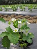 La fresa florece las flores blancas en la granja Fotografía de archivo libre de regalías