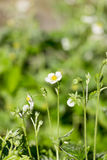 La fresa salvaje florece en el jardín en fondo verde Foto de archivo