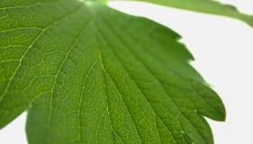 La fresa verde deja el primer en un fondo blanco Venas macras foto de archivo libre de regalías