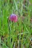 La fritillaria capa del serpente (meleagris di Fritillaria) Fotografie Stock Libere da Diritti