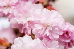 La frontière du cerisier rose de floraison de sacura s'embranche dans le jardin Images libres de droits