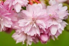 La frontière du cerisier rose de floraison de sacura s'embranche dans le jardin Photographie stock libre de droits