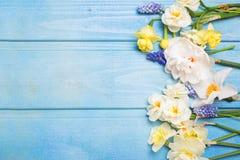 La frontière du narcisse coloré de ressort, muscaries fleurit sur bleu Image stock