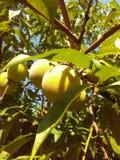 La fruta amarilla del árbol de melocotón Imagen de archivo libre de regalías