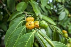 La fruta continúa en un árbol Foto de archivo libre de regalías