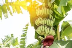 La fruta cruda del plátano con el plátano se va en naturaleza Foto de archivo libre de regalías