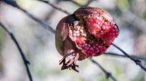 La fruta de la granada abierta Fotografía de archivo libre de regalías