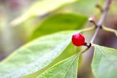 La fruta de la madreselva en otoño fotografía de archivo libre de regalías