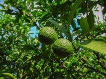La fruta de maduración en una rama de árbol, mandarina Imagen de archivo
