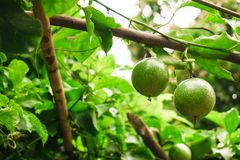 La fruta de la pasión en verde fresco de la fruta no se cocina con todo alista Fotografía de archivo