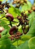 La fruta del anacardo en el entrenamiento, la castaña imágenes de archivo libres de regalías