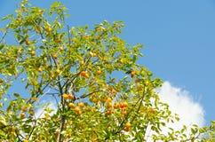 La fruta del caqui es madura Foto de archivo libre de regalías