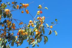 La fruta del caqui madura en la planta con la parte 2 del fondo del cielo azul imágenes de archivo libres de regalías