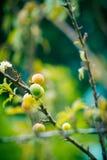La fruta del ciruelo y el ciruelo chinos jovenes florecen (la flor) imagenes de archivo