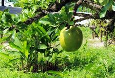 La fruta del cujete del crescencia de la planta, llamó popular la calabaza imágenes de archivo libres de regalías
