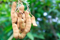 La fruta del tamarindo cuelga abajo de su árbol en Asia tropical Imagen de archivo