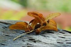 la fruta dos-coa alas Foto de archivo