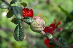 La fruta en el árbol con las flores rojas Imágenes de archivo libres de regalías