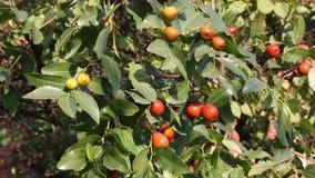 La fruta madura de la fecha china