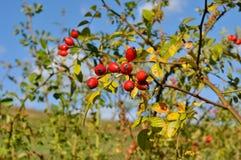 La frutta dei cinorrodi selvaggi sul ramo Immagine Stock