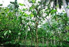 La frutta del cacao si sviluppa sull'albero Fotografia Stock Libera da Diritti