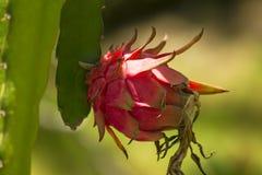 La frutta del drago in natura ha cominciato ad appassire fotografia stock