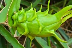 La frutta del drago non è matura Fotografia Stock Libera da Diritti