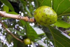 La frutta del formaggio si sviluppa sull'albero da frutto di Noni nel cuoco Islands di Rarotonga Immagine Stock Libera da Diritti