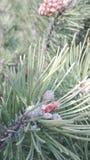 La frutta del pino Immagini Stock
