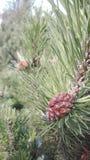 La frutta del pino Fotografia Stock Libera da Diritti