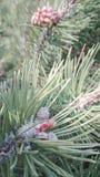 La frutta del pino Fotografia Stock