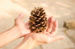 La frutta del pino nella palma della vostra mano Fotografie Stock Libere da Diritti