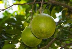 La frutta del pomelo è quasi matura sull'albero nel giardino Fotografia Stock