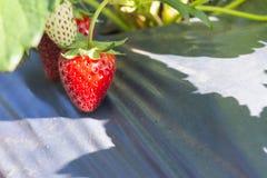 La frutta della fragola nell'azienda agricola Fotografia Stock