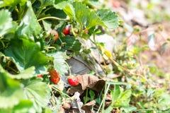 La frutta della fragola si sviluppa in azienda agricola Fotografia Stock
