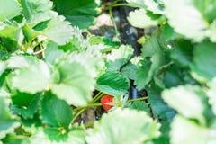 La frutta della fragola si sviluppa in azienda agricola Fotografie Stock Libere da Diritti