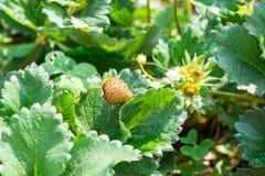 La frutta della fragola si sviluppa in azienda agricola Immagine Stock Libera da Diritti
