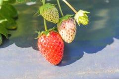 La frutta della fragola sull'azienda agricola Fotografia Stock