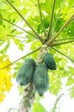 La frutta della papaia Fotografia Stock Libera da Diritti