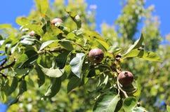 La frutta della pera si sviluppa su un ramo Fotografie Stock