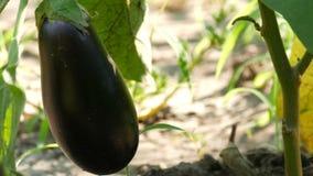 La frutta di melanzana matura si sviluppa sul cespuglio nel giardino archivi video
