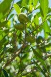 La frutta di pianta legnosa del tè su un gambo sopra fondo dell'albero del tè stacca Immagini Stock Libere da Diritti
