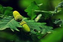 La frutta inglese della quercia Fotografia Stock