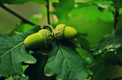 La frutta inglese della quercia Fotografia Stock Libera da Diritti